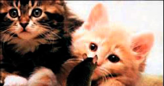 Kediler de farelere karşı kimyasal silah ku llanıyor