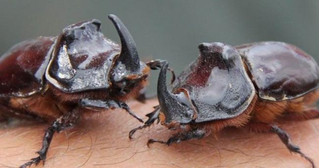 Gergedan böceği 90 bin dolara alıcı bulur mu?