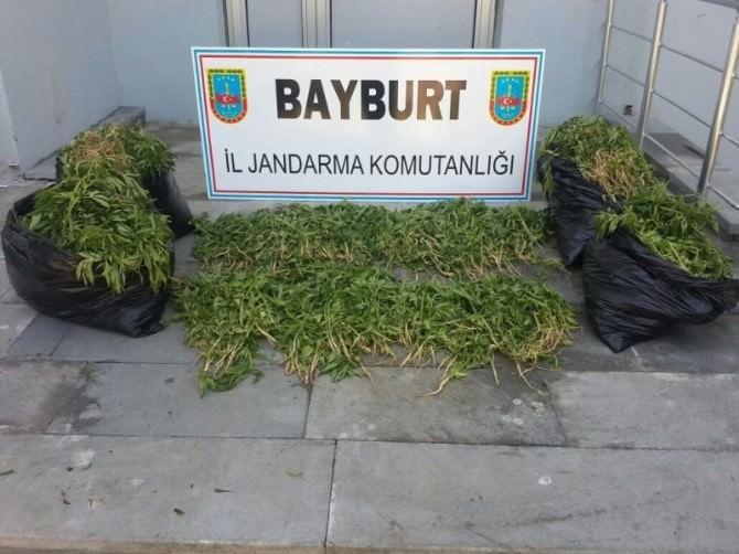 Bayburt'ta 4 Bin 300 Kök Hint Keneviri Ele Geçirildi