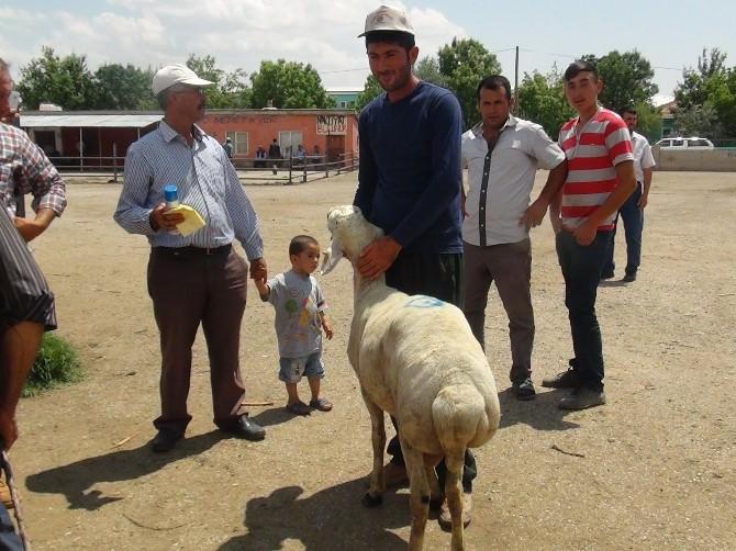 Aksaray'da 481 Damızlık Koç Üreticilere Dağıtıldı