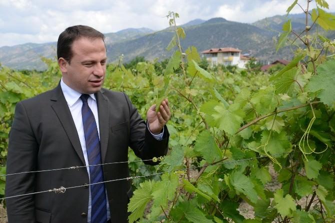 Erbaa'da Bağ Yaprağı Yarışması