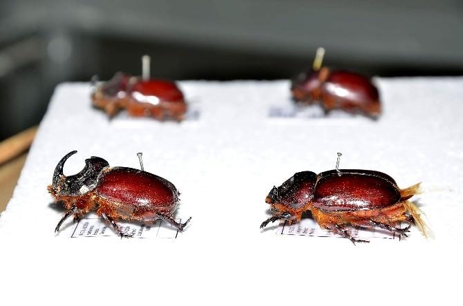 (Özel Haber) Gergedan Böceğinin Bilinmeyenleri
