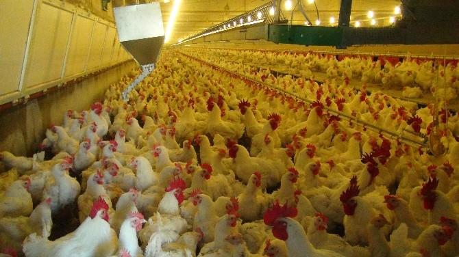 İhracat Yasağı Kalktı, Tavuk Üreticisinin Yüzü Güldü
