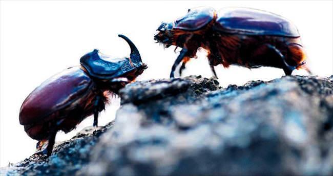 Gergedan böceğinde hayaller suya düştü