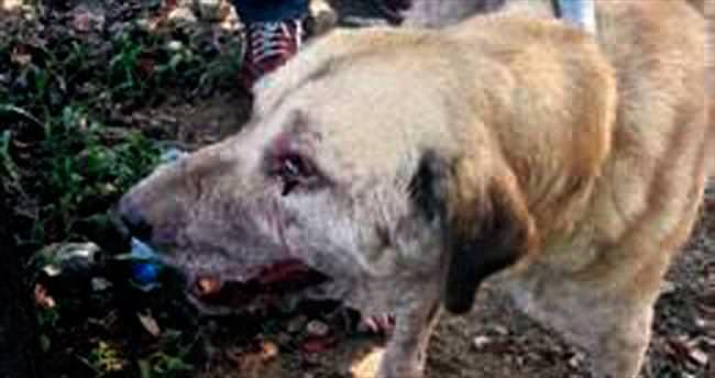 Bozulmuş etle beslenen köpekler tedavi altına alındı