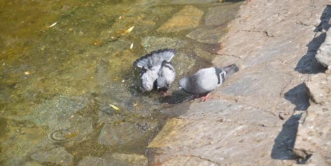 Güvercinlerin Sıcak İle İmtihanı