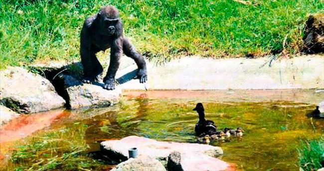 Goril, ördekle arkadaş oldu