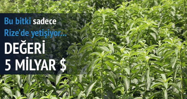 Rize'de 'asrın bitkisi' başarıya ulaştı