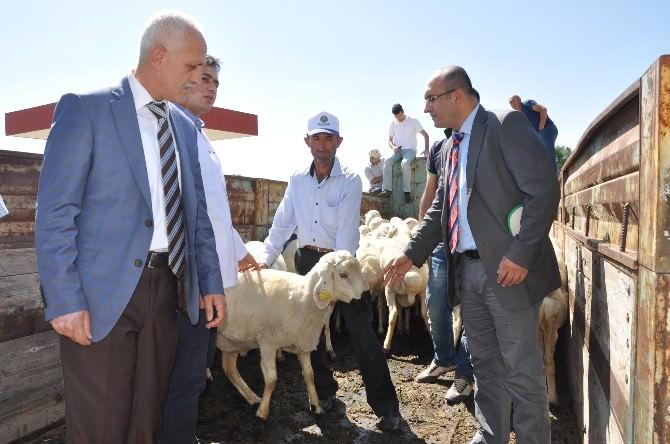 Yozgat'ta Besicilere Damızlık Koç Dağıtımı Yapıldı