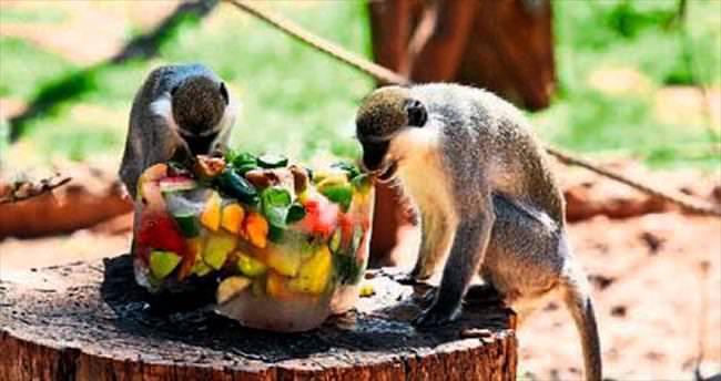 Bunalan hayvanlara buzlu meyve ikramı