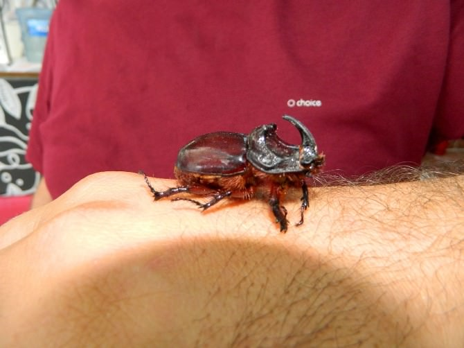 Dükkanında Gergedan Böceği Besliyor
