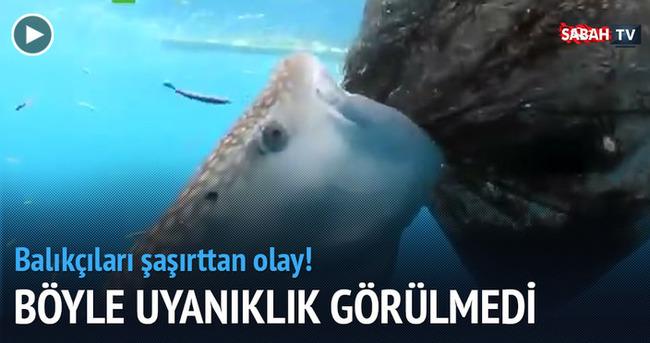 Ağdaki balıkları yemeye çalışan balina köpek balığı