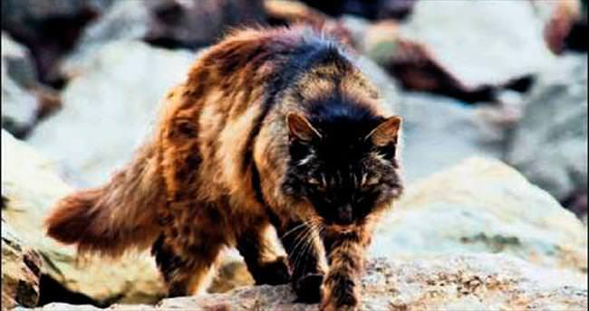 2 milyon yaban kedisi itlaf edilecek