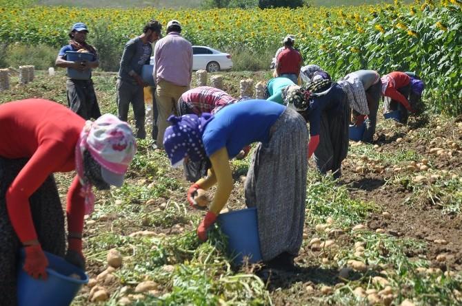 Mülteciler Patates İşçisi Oldu