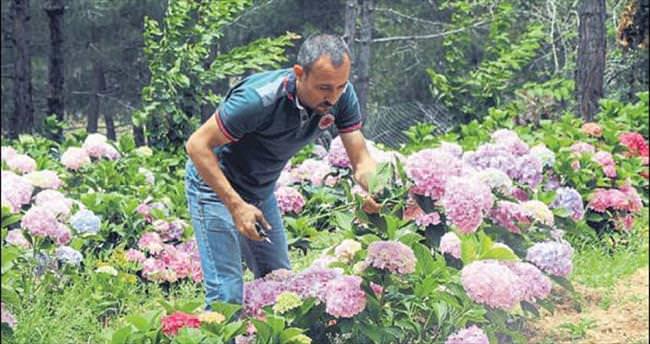 Türkiye'nin ilk ortanca bahçesi Belen'de