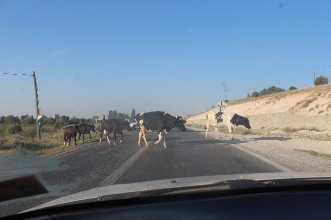 Karayoluna Çıkan İnek Sürüleri Yol Güvenliğini Tehlikeye Düşürüyor