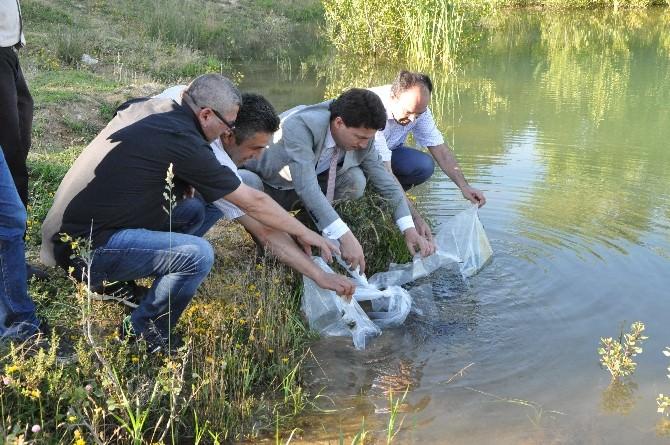 Kütahya'daki Göletlere 45 Bin 500 Yavru Sazan