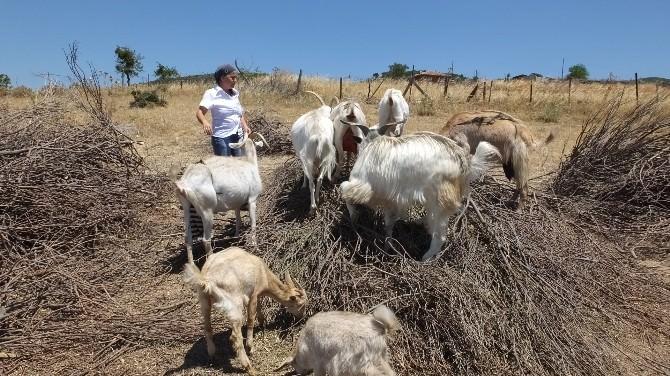 Sutyenli Keçiler Görenleri Şaşırtıyor