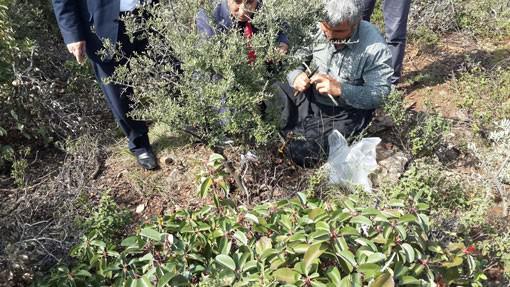 Kırıkhan'da Yabani Zeytin Aşılama Çalışmaları Başlatıldı