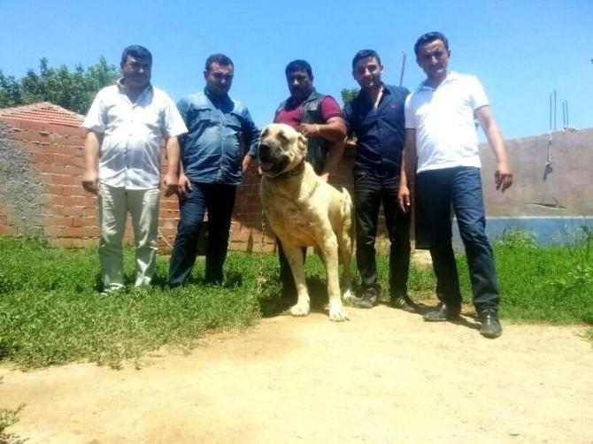 Sarıgöl'de 'Çoban Köpekleri Irk Güzellik Yarışması' Düzenleniyor