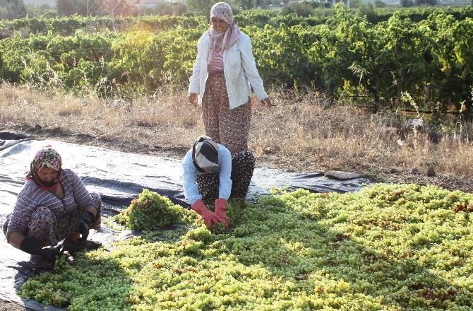 Alaşehir'de Üzüm İşçi Ücretlerine Yüzde 10 Zam
