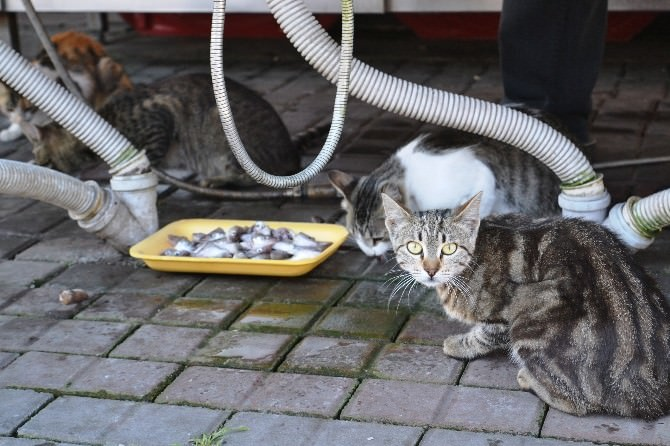 Balıkçının Önünde Bekleyen Kediler, Her Gün Ziyafet Çekiyor