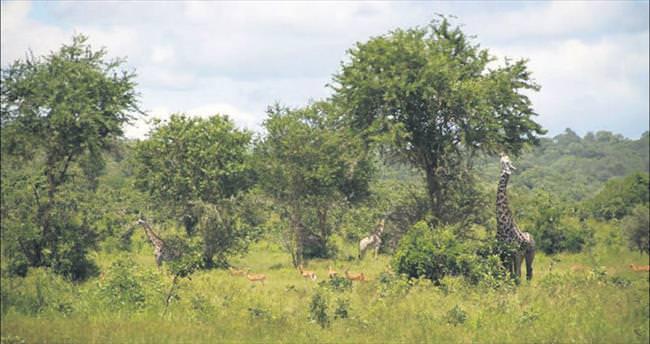 Vahşi doğanın kalbi Afrika
