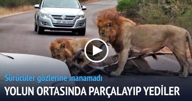 Aslanlar yolun ortasında parçalayıp yedi