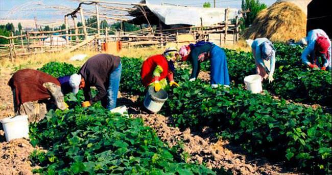 Salatalık hasadına rötarlı başlangıç