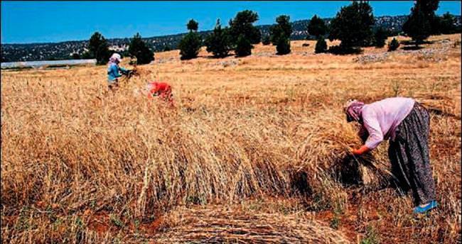 Makinesiz tarımda zorlu hasat dönemi