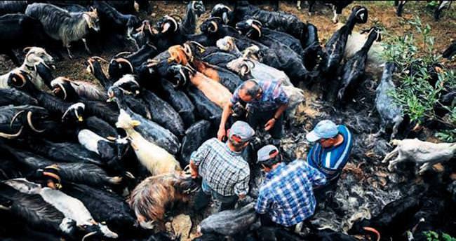 Yörüklerin keçi kırpma geleneği