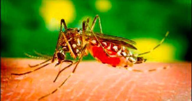 Dang hummasına karşı sivrisinek çiftçiliği