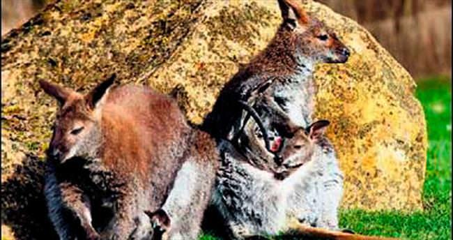 Kangurular, Paris banliyölerinde...