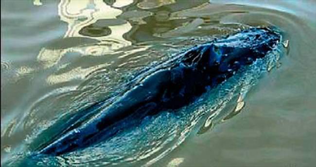 6 metrelik balina marinada sıkıştı