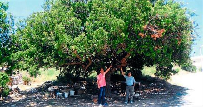 Karaburun'da asırlık ağaçlar tescilleniyor
