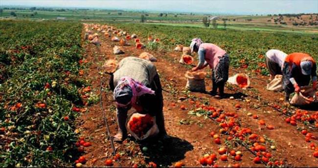 Karacabey'de hasat zamanı