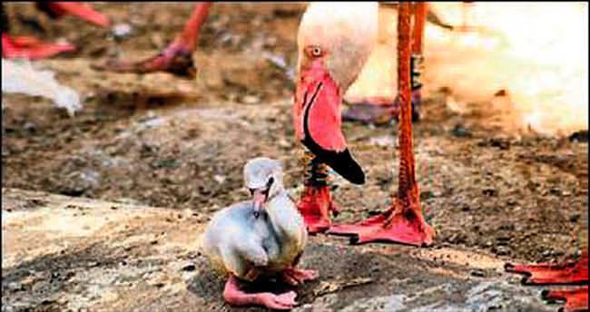 12 yıl sonra ilk yavru flamingo