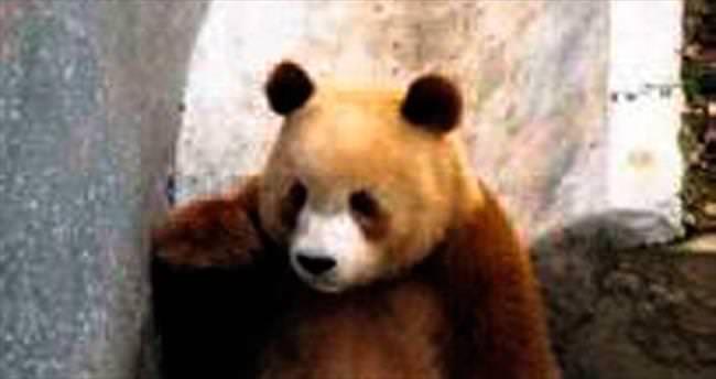 Çin'de nadir görülen kahverengi panda