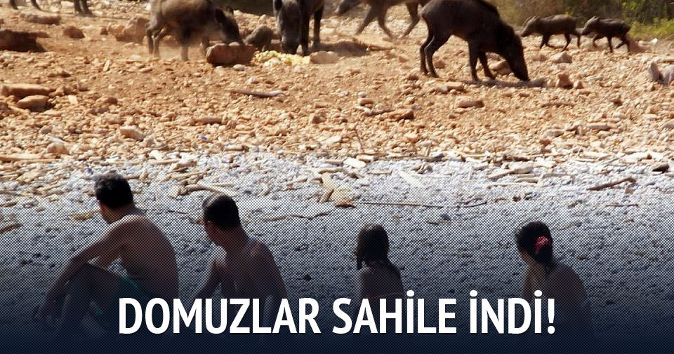 Turistler domuzlarla yüzdü