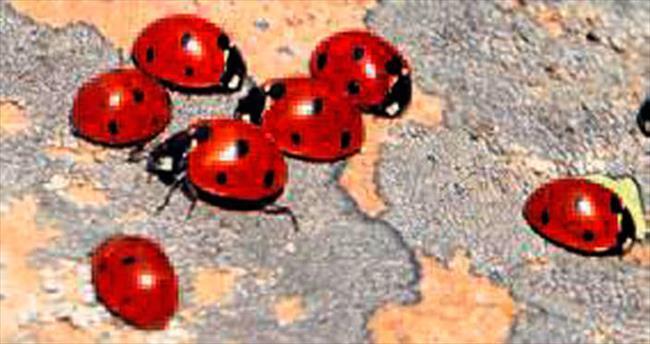 Uğur böcekleri kırmızıya bürüyor