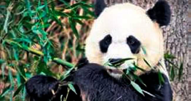 Susun! Hamile panda rahatsız oluyor