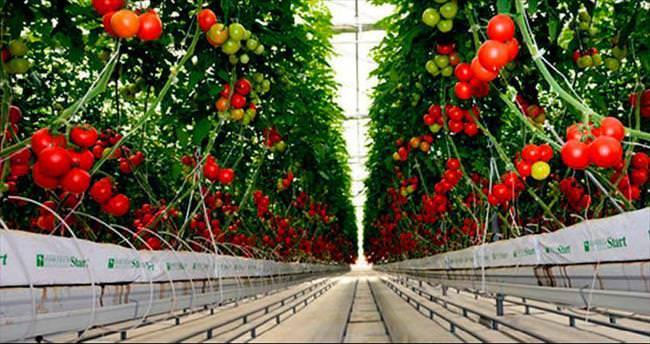 Arsaya bina değil domates dikecek