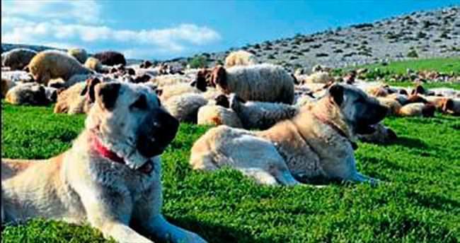 Çökelez'deki Kangal köpekleri yok satıyor