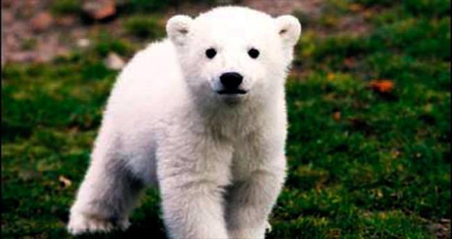 Kutup ayısı Knut'un ölüm nedeni belirlendi