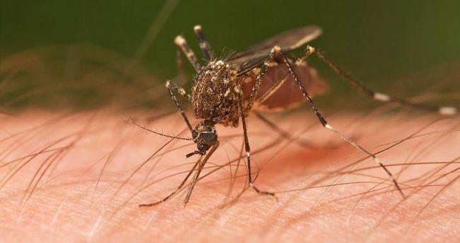 Sivrisinek ısırıklarında bitkisel tedavi yöntemleri