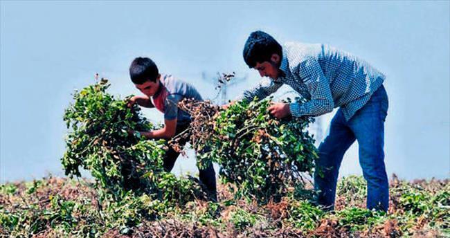 Çukurova'da fıstık gibi hasat yapılıyor