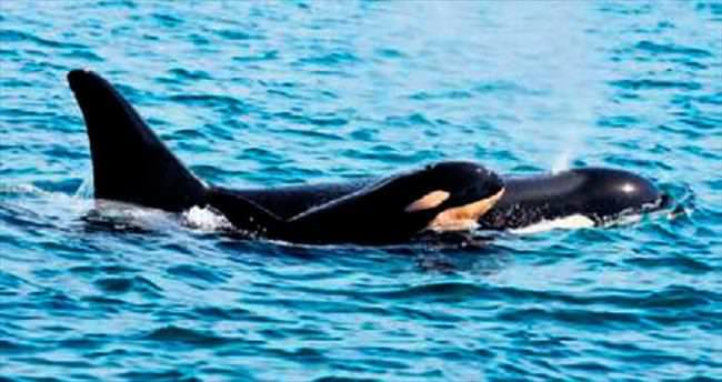 Katil balina beşinci yavrusunu doğurdu