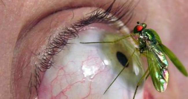 Miyaz sineğine dikkat!