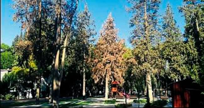 Kuruyan ağaçlar vatandaşı üzüyor