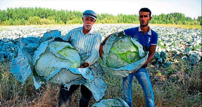 40 kiloluk lahanalar üreticisini sevindirdi